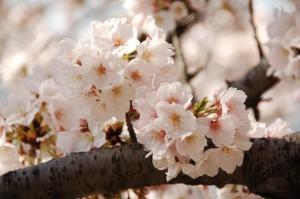 Cherry Blossoms in Washington DC Area - Tidal basin